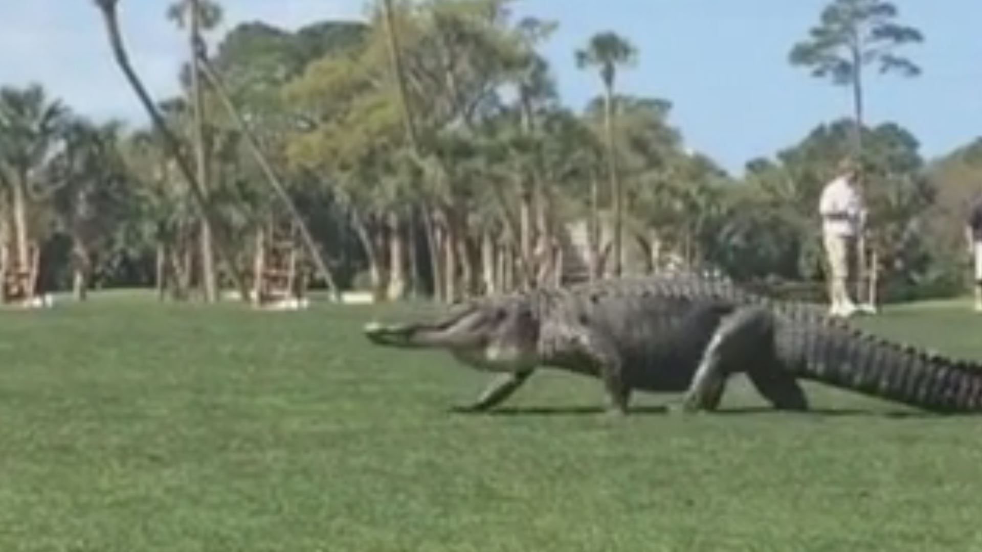 Video Shows Big Gator Take Stroll on SC Golf Course